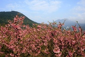 寒櫻(農1213拍攝):