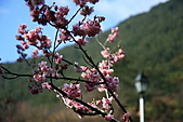 2011.2.13武陵櫻花饗宴:照片 125.jpg