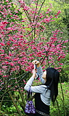 陽明山花季: