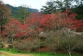 2011.2.13武陵櫻花饗宴:照片 055.jpg