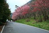 2011.2.13武陵櫻花饗宴:照片 088.jpg