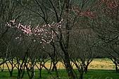 2011.2.13武陵櫻花饗宴:照片 102.jpg