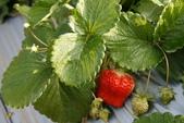 採草莓去: