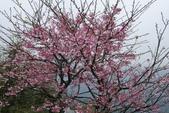 禾豐農園(寒櫻):日本寒櫻一月中旬二月初