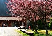 2011.2.13武陵櫻花饗宴:照片 130a.jpg