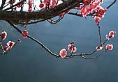 2011.2.13武陵櫻花饗宴:照片 128.jpg