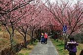2011.2.13武陵櫻花饗宴:照片 100.jpg