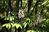 0402 鐘萼木: