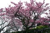 禾豐農園(寒櫻):
