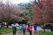 2011.2.13武陵櫻花饗宴:照片 082.jpg