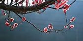 2011.2.13武陵櫻花饗宴:照片 128a.jpg