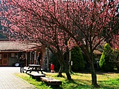 2011.2.13武陵櫻花饗宴:照片 130.jpg