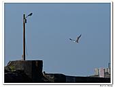 25901088大溪漁港-海鷗:DSC09634-1.jpg