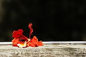 睡不著的鳳凰花:DSC08419.jpg