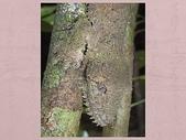 偽裝大師-壁虎:這隻扁尾葉壁虎將自己完美地偽裝成樹幹的樣子