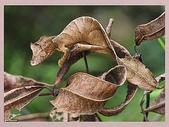 偽裝大師-壁虎:隱藏在澳大利亞樹林中的北扁尾葉壁虎