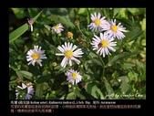 台灣的野花:12.jpg