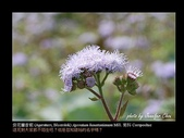 台灣的野花:14.jpg