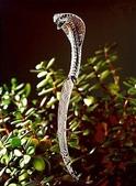 世界絕頂之刀 :眼鏡蛇