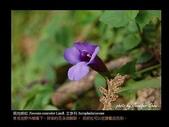 台灣的野花:16.jpg