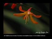 台灣的野花:21.jpg