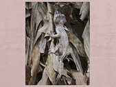 偽裝大師-壁虎:在馬達加斯加,扁尾葉壁虎可以將自己偽裝成周圍自然環境的一部分