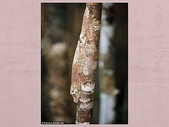 偽裝大師-壁虎:和樹幹的顏色渾然一體
