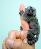 """可愛的""""指猴"""":01.jpg"""