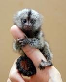 """可愛的""""指猴"""":02.jpg"""