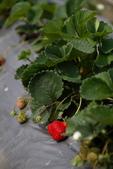 採草莓:1808848610.jpg