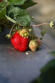 採草莓:1808848611.jpg