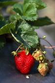 採草莓:1808848612.jpg