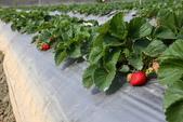 採草莓:1808848614.jpg