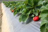 採草莓:1808848615.jpg