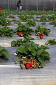 採草莓:1808848617.jpg