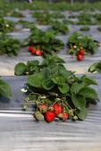 採草莓:1808848618.jpg