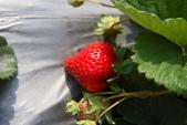 採草莓:1808848619.jpg