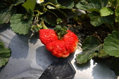 採草莓:1808848622.jpg