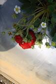採草莓:1808848623.jpg