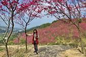 楊梅觀光茶園裡的櫻花:DSC_0349.jpg