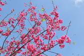 楊梅觀光茶園裡的櫻花:楊梅觀光茶園裡的櫻花 (23).jpg