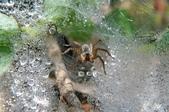 水晶宮&盤絲洞~長疣馬蛛:DSC_0673~2.jpg