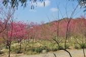 楊梅觀光茶園裡的櫻花:楊梅觀光茶園裡的櫻花 (9).jpg