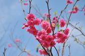 楊梅觀光茶園裡的櫻花:楊梅觀光茶園裡的櫻花 (28).jpg