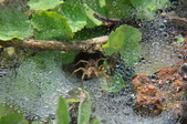 水晶宮&盤絲洞~長疣馬蛛:DSC_0677.jpg