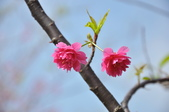 楊梅觀光茶園裡的櫻花:楊梅觀光茶園裡的櫻花 (30).jpg