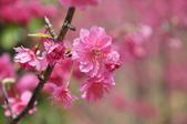 楊梅觀光茶園裡的櫻花:楊梅觀光茶園裡的櫻花 (32).jpg