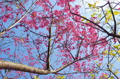 楊梅觀光茶園裡的櫻花:楊梅觀光茶園裡的櫻花 (15).jpg