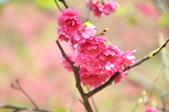 楊梅觀光茶園裡的櫻花:楊梅觀光茶園裡的櫻花 (33).jpg