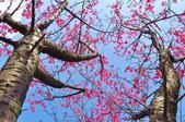 楊梅觀光茶園裡的櫻花:楊梅觀光茶園裡的櫻花 (16).jpg